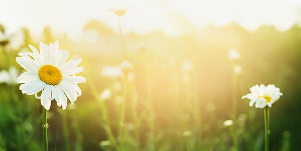 daisy-in-sun