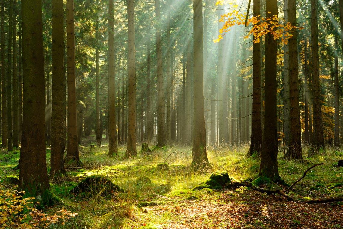 sunlight filtering through woodland