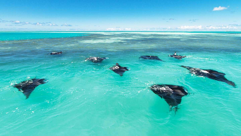 Alphonse Island Mantra Rays