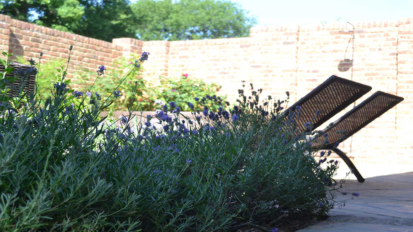 Lavender-in-Walled-Garden